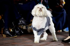 A dog struts down the outdoor runway on Oct. 12 at the Iowa River Landing, pausing to pose for the audience.